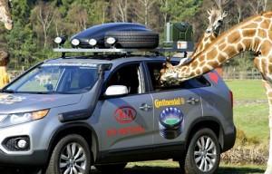 La nueva Sorento fue mirada en detalles por las jirafas. Foto: Hyundai Press.