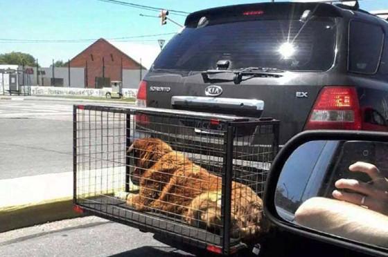 Fuertes multas para quienes lleven mascotas en jaulas fuera de sus autos